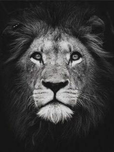 Leeuw zwart - wit